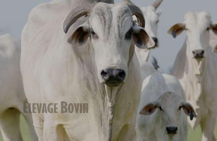 Elevage bovin 01